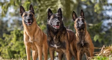 Canine breeds That Tend To Fall Sick Very Easily